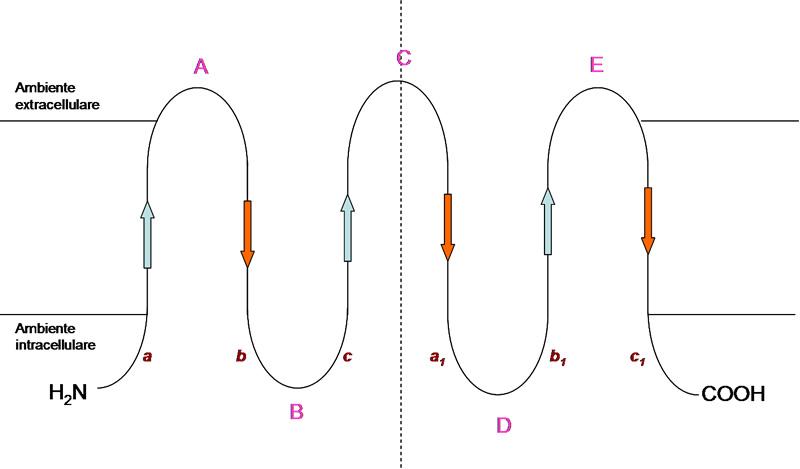 Acquaporina: Struttura di una subunità proteica del porocanale